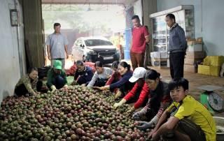 Người lao động tại HTX Bình Lộc tuyển chọn mặt hàng chanh dây tươi xuất khẩu.