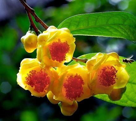 Chuyển giao công nghệ sản xuất chè hoa vàng
